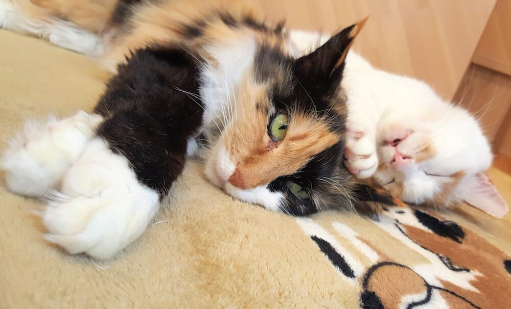 仲良くごろ寝している保護猫たち