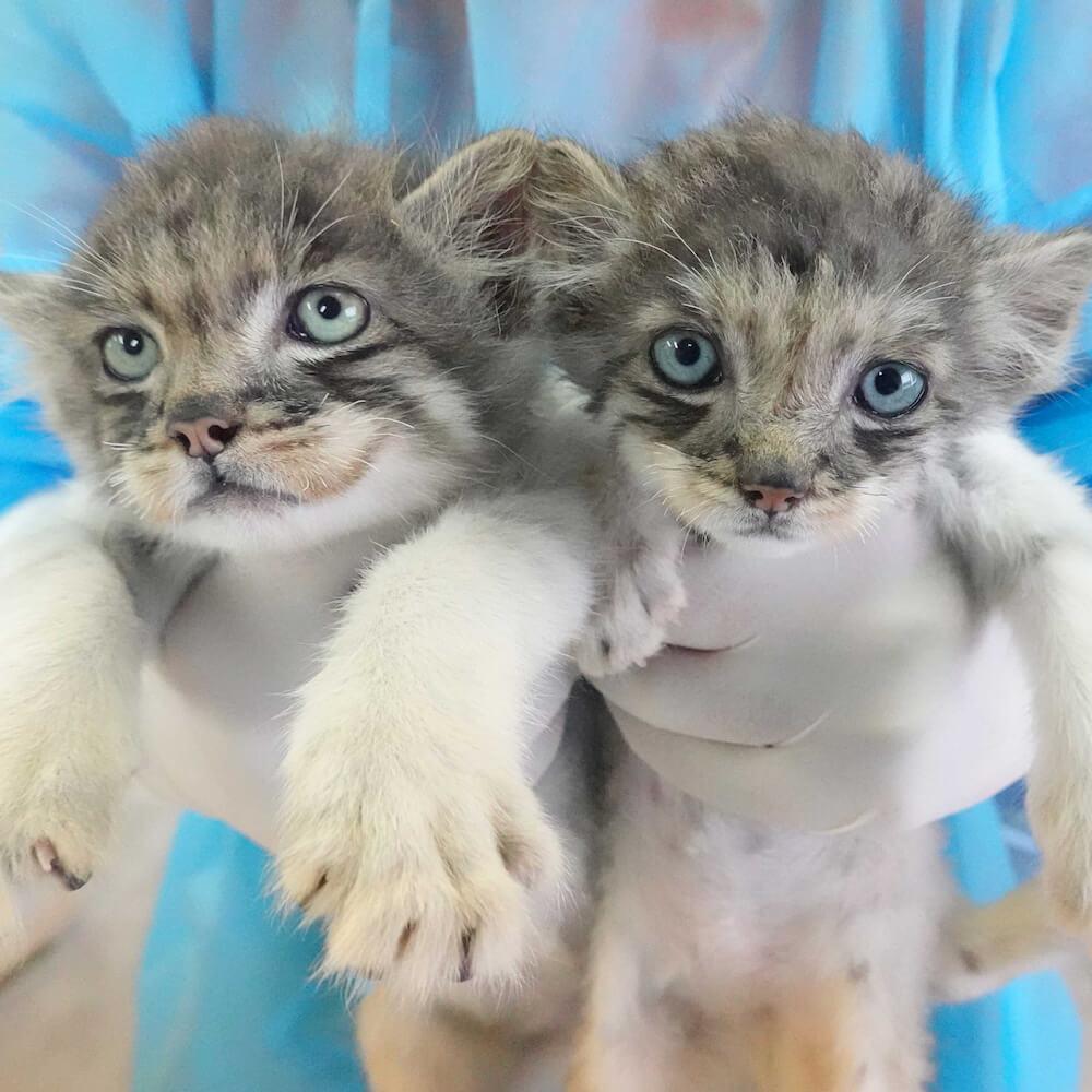 那須どうぶつ王国で生まれた2匹のマヌルネコの赤ちゃん