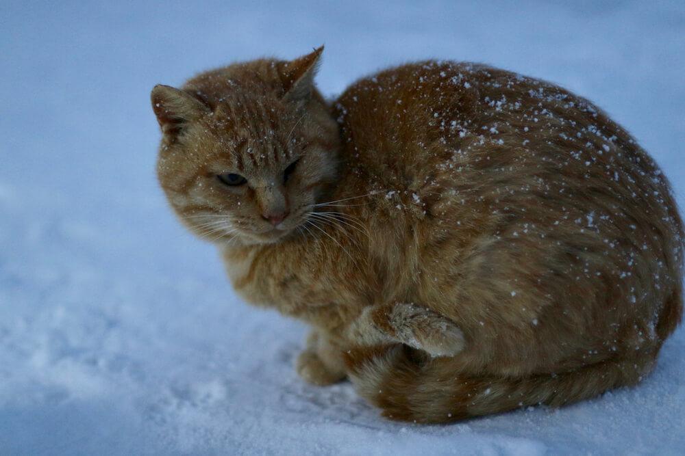 雪の中で凍える茶トラ猫 byねこたちのゆきあかり