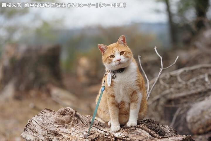 観光客にカメラ目線を送る備中松山城の猫城主「さんじゅーろー」