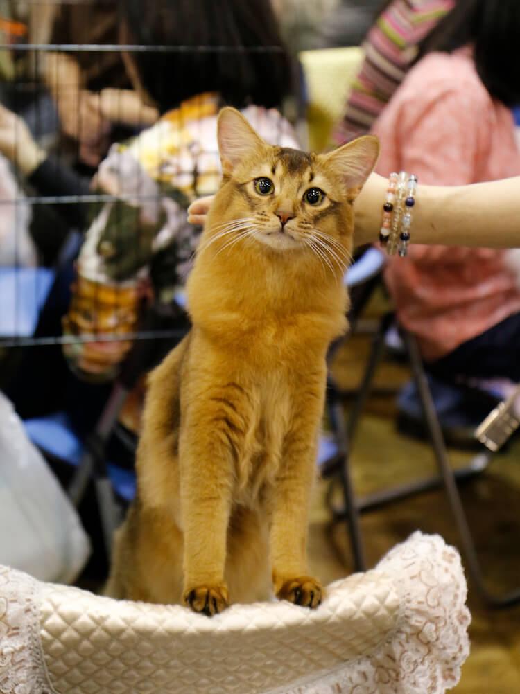 CFAのキャットショーに参加した美しい猫