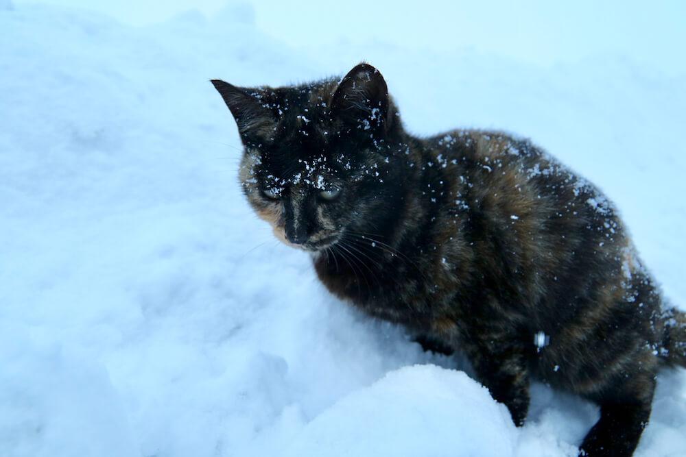 雪に埋もれながらも必死に生きるサビ猫 byねこたちのゆきあかり
