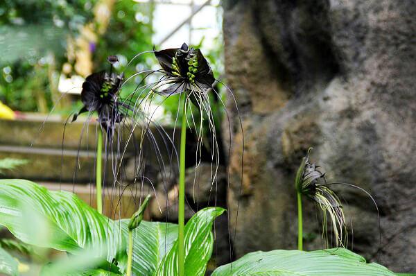 小田原フラワーガーデンで咲いているタッカ・シャントリエリ(通称:ブラック・キャット)