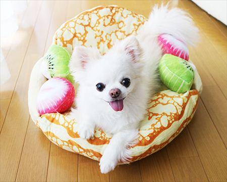 フルーツオムレット型の猫ベッド「にゃんこクレープオムレット」を使用する小型犬のイメージ