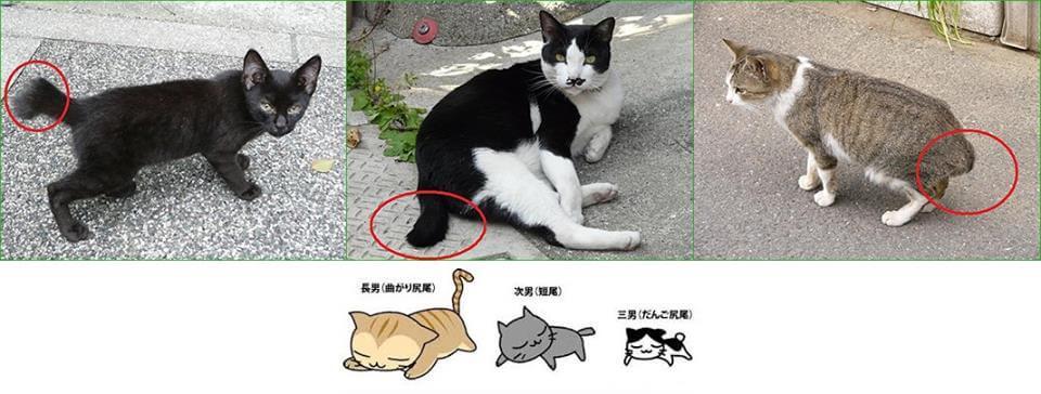 尾曲がりネコの3分類「曲がり尻尾」「短尾」「お団子しっぽ」