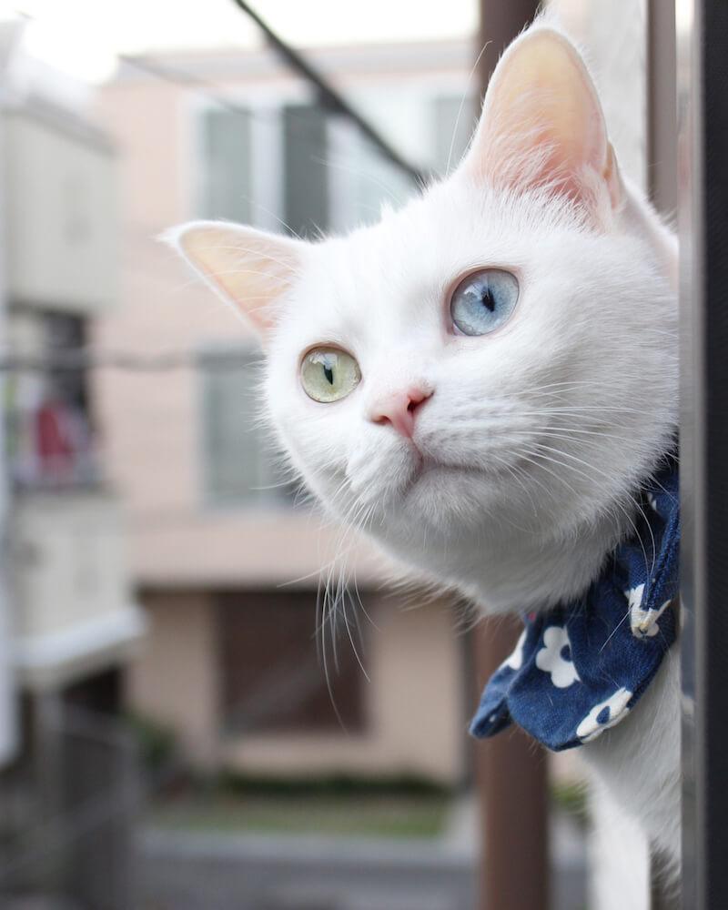 オッドアイの白猫 by にゃんぱく(~ねこの万博~)