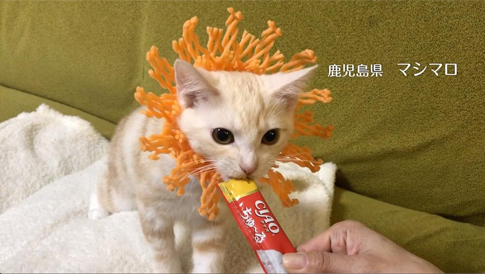 ライオンに扮して「いなばCIAOちゅ〜る」を食べる猫の写真2