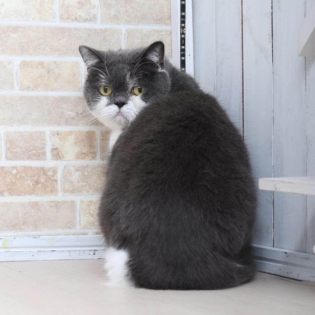 Zoff(ゾフ)の看板猫に就任した人気のブリティッシュショートヘア「じろう」