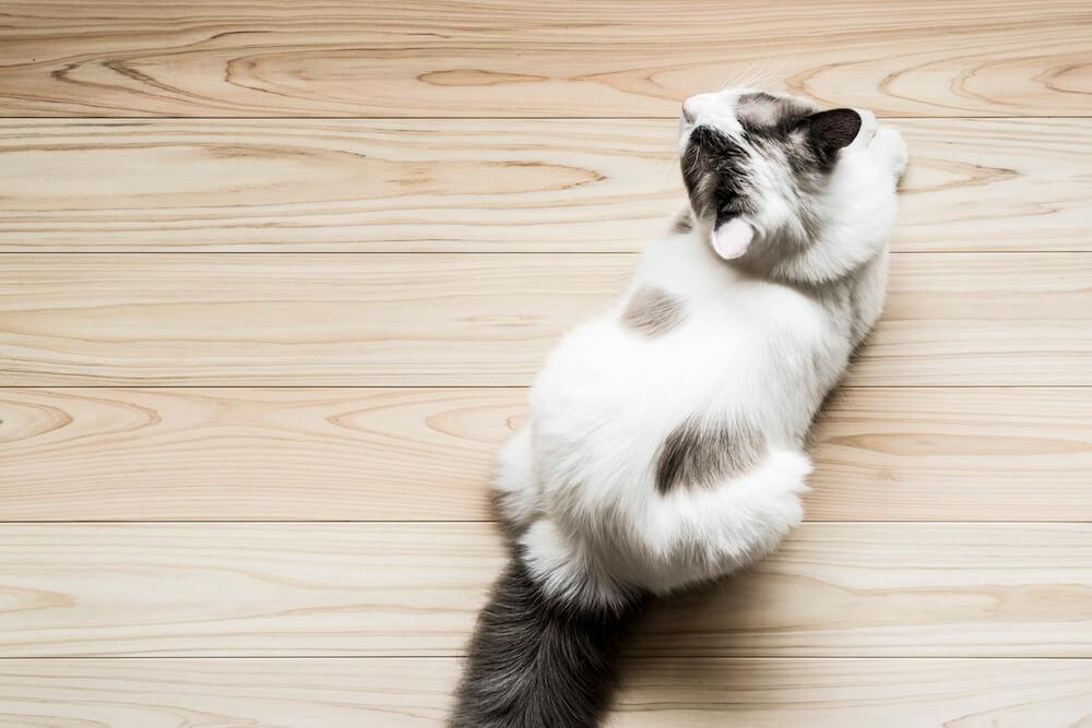 フローリング材「NEKOFLOOR(ネコフロア)」ヒノキの上で香箱座りをする猫