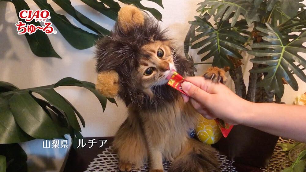 ライオンに扮して「いなばCIAOちゅ〜る」を食べる猫の写真3