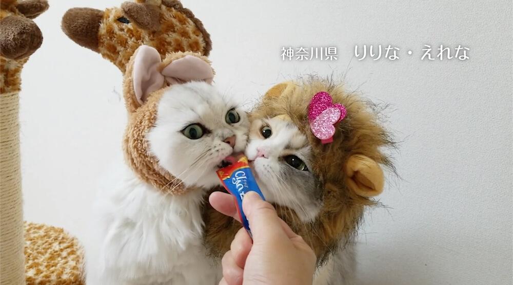 ライオンに扮して「いなばCIAOちゅ〜る」を食べる猫の写真4