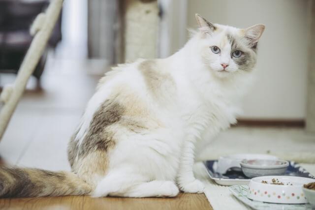 パステル三毛猫のイメージ写真