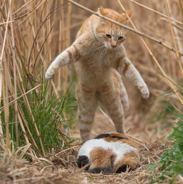 三毛猫の前に立ちはだかる茶トラ猫 by 沖昌之「必死すぎるネコ ~前後不覚篇~」