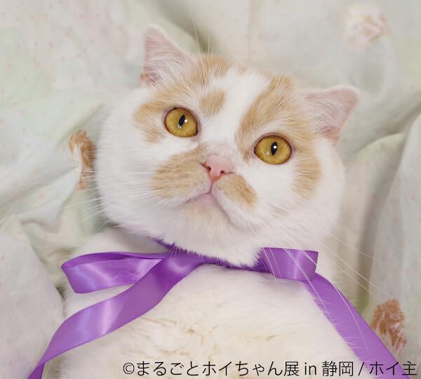 ちくわ柄の人気猫「ホイップ(ホイちゃん)」のアップ写真