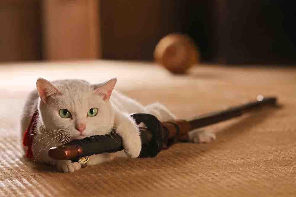 映画「猫侍」に出演した人気猫の「あなご」