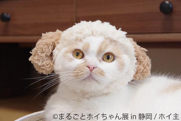 羊のかぶりものを装着したちくわ柄の人気猫「ホイップ(ホイちゃん)」写真