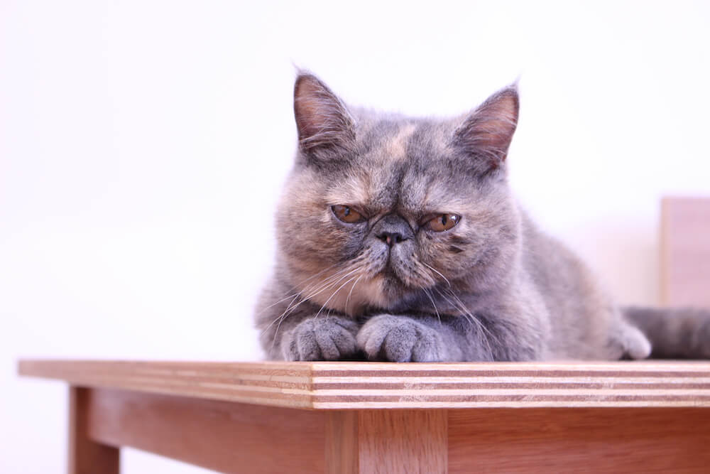 Moff animal cafe(モフ アニマルカフェ)の猫スタッフ、エキゾチックショートヘアの「プアロ」