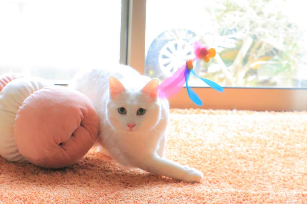玩具で真剣に遊ぶ白猫ちゃん by 瀬戸にゃんちさ