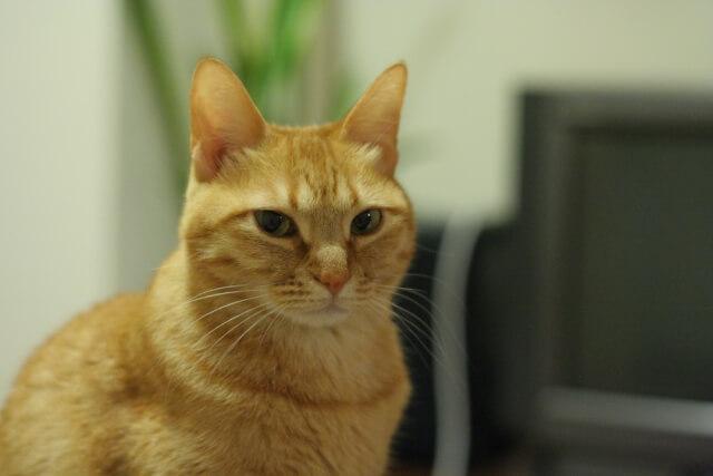 老猫・高齢猫のイメージ写真