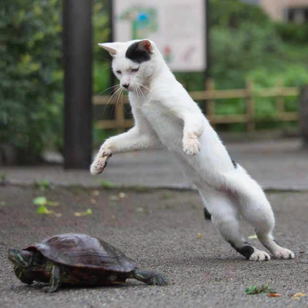 必死で亀に飛びかかろうとする白黒ネコ by 沖昌之「必死すぎるネコ ~前後不覚篇~」