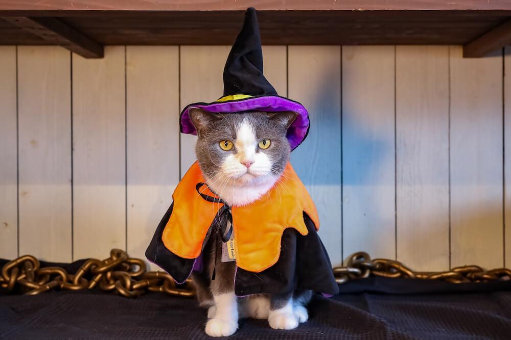 魔女のコスプレをした猫 by 猫カフェ 猫家