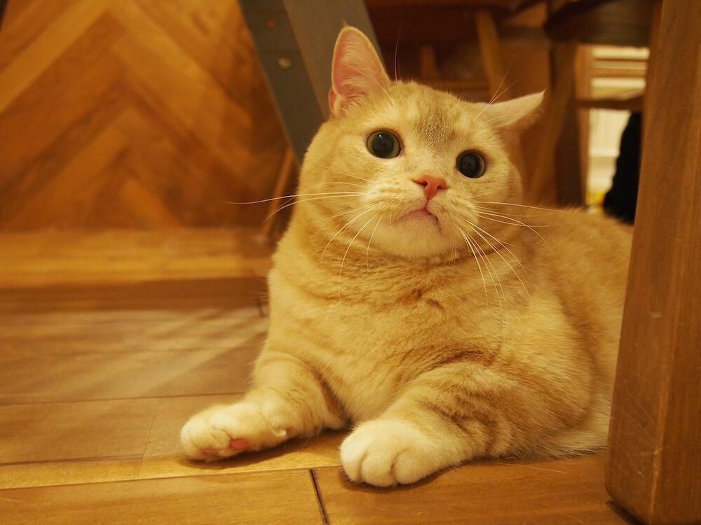 お目々がくりくりした猫 by emi