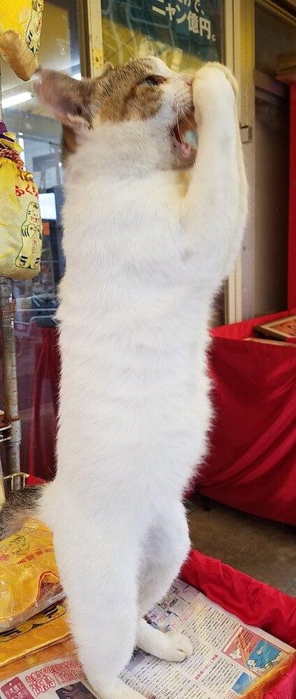 佐賀県唐津市の宝くじ売り場「宝当大黒屋 野崎酒店」にいる看板猫の「幸ちゃん」