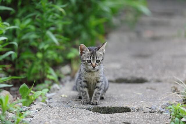 野良猫のサバトラの子猫