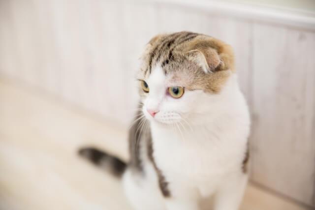 垂れ耳・折れ耳が特徴的な人気猫のスコティッシュフォールド