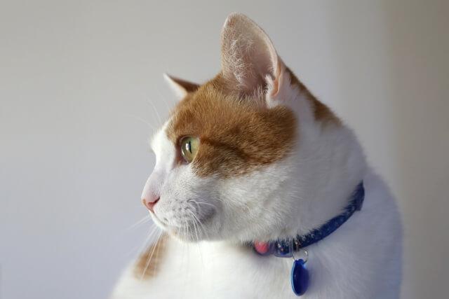 首輪を装着した猫のイメージ写真