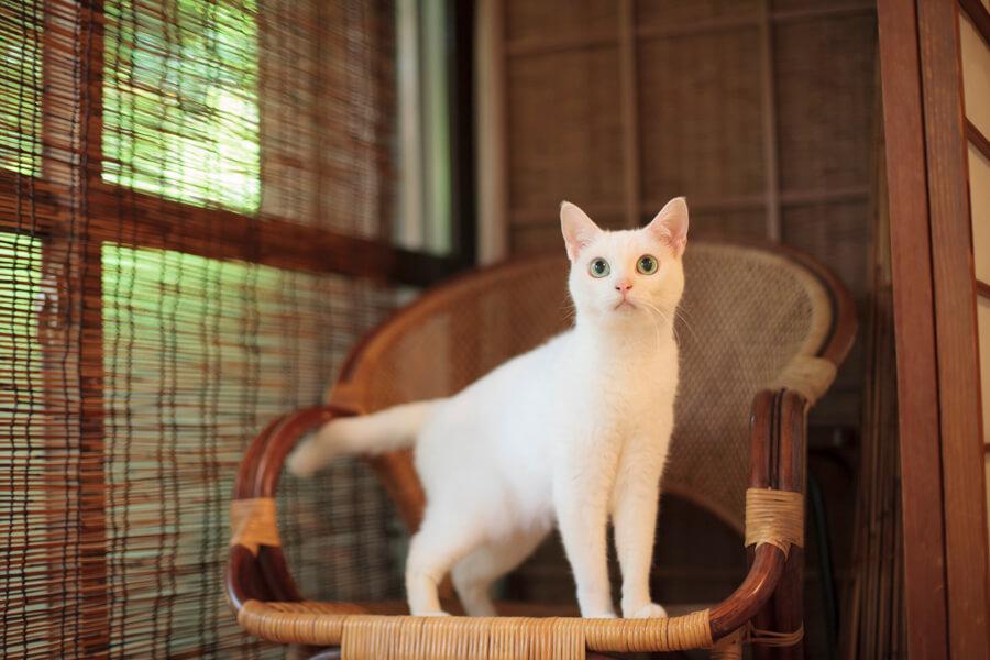 動物時代劇「猫侍(ねこざむらい)」で主役を務めた白猫の「あなご」 by 五十嵐健太