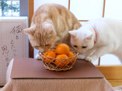 「猫はこたつで丸くなる」をお家で再現できるニャ!猫用のコタツが付いてくる和歌山みかんが今年も発売