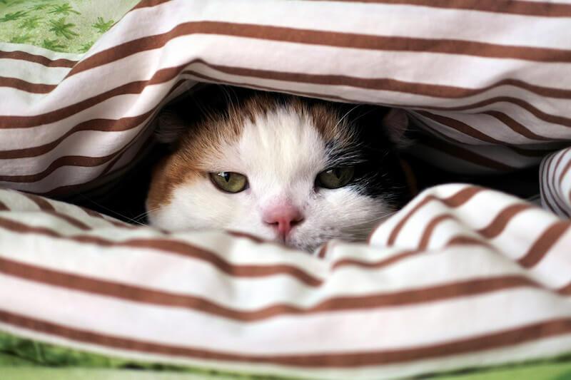 布団の合間からうかがう猫 by sanchelove