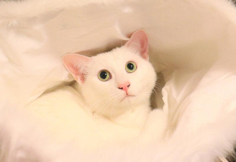 まんまるお目々の白ネコ by 瀬戸にゃんちさ