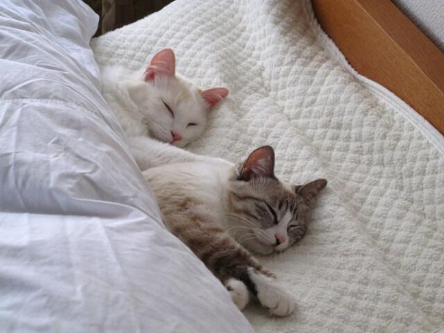 布団に潜り込んで寝る2匹の猫