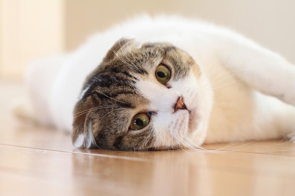 寝転がったままカメラ目線の猫 by jun.k