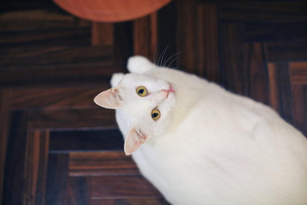ネコリパブリック中野店にいる保護猫のイメージ写真