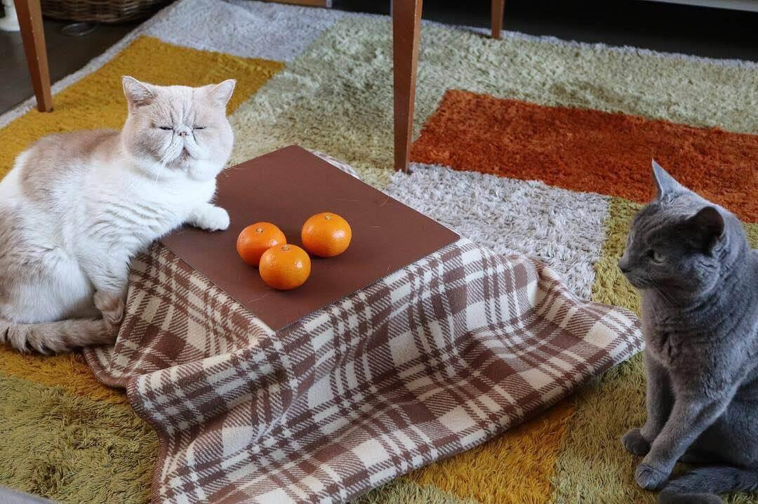 みかんとネコ専用のこたつと一緒に写真を撮る猫