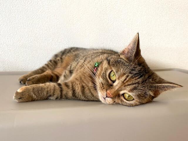 室内で飼われている猫のイメージ