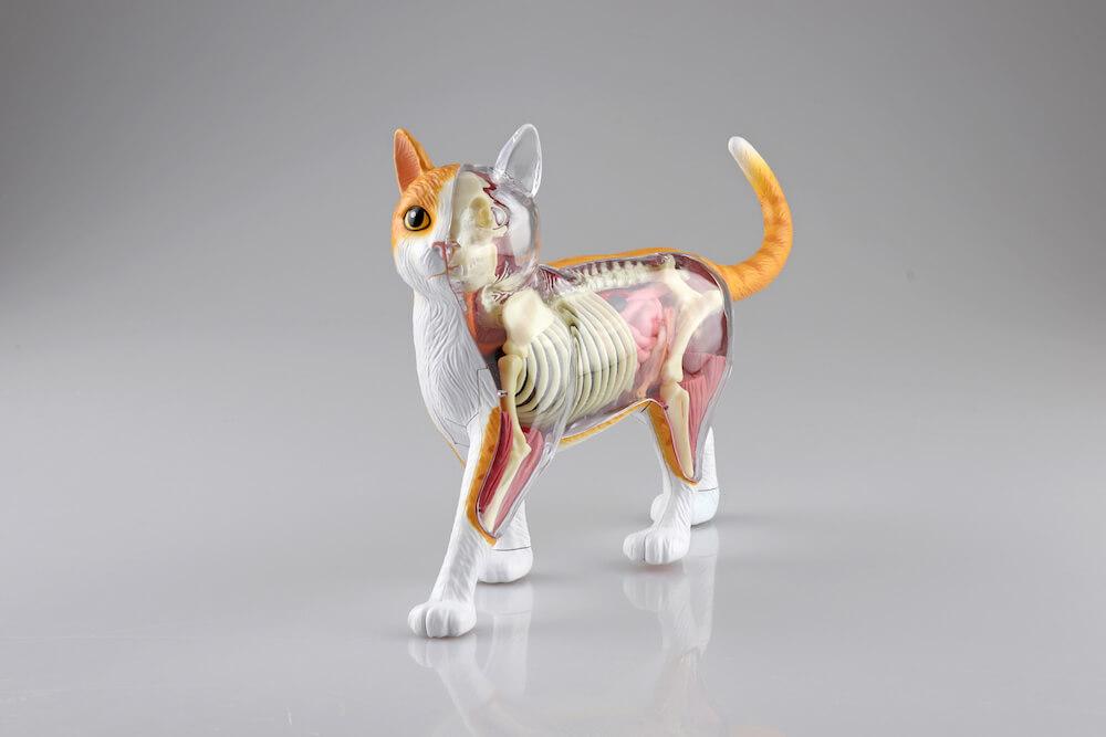 立体パズル 猫の解剖モデル「茶トラ白バージョン」の前方斜め前イメージ(スケルトン側) by 4D VISION