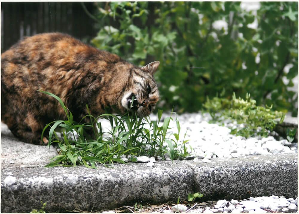 道端の草を食べている猫の写真 by 大佛次郎×ねこ写真展の入賞作品
