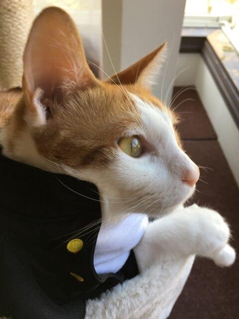 学ランのペット衣装を着た茶白猫