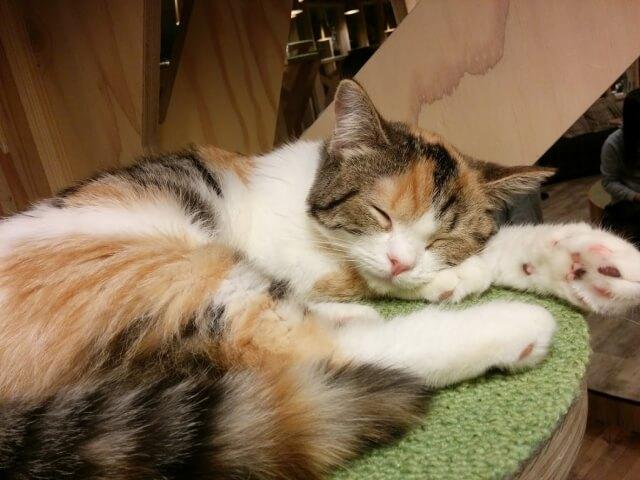 猫カフェで昼寝をしている猫のイメージ写真
