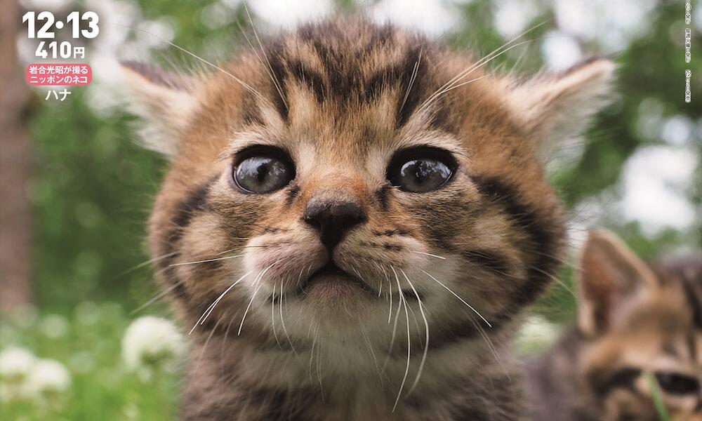 雑誌「週刊朝日2019年12/13号」の表紙を飾ったキジトラの子猫 by 岩合光昭