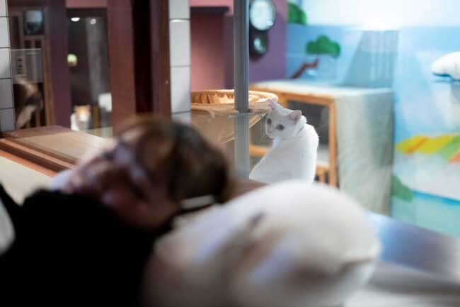 寝ている宿泊客を見つめる白猫 by ホテル「ねこ旅籠(ねこはたご)」