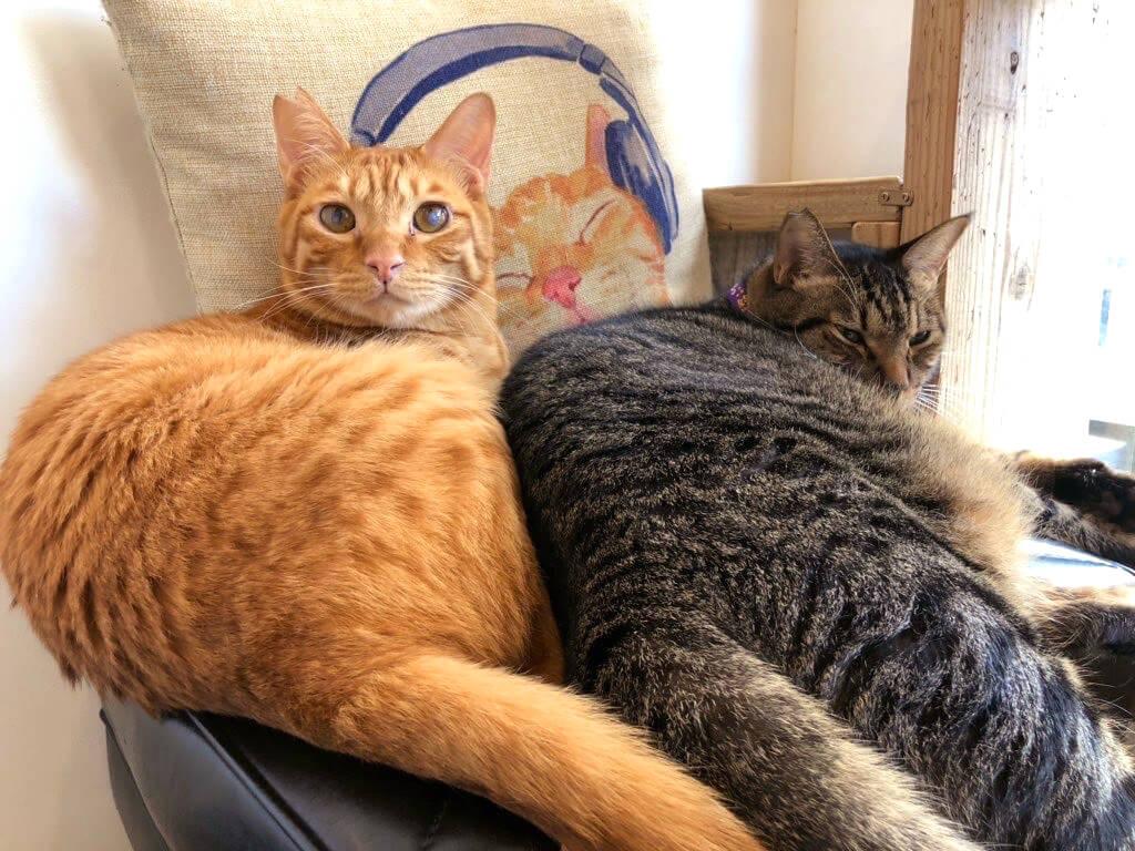 仲良しな茶トラとキジトラ猫 by SAVE CAT CAFE(セーブキャットカフェ)