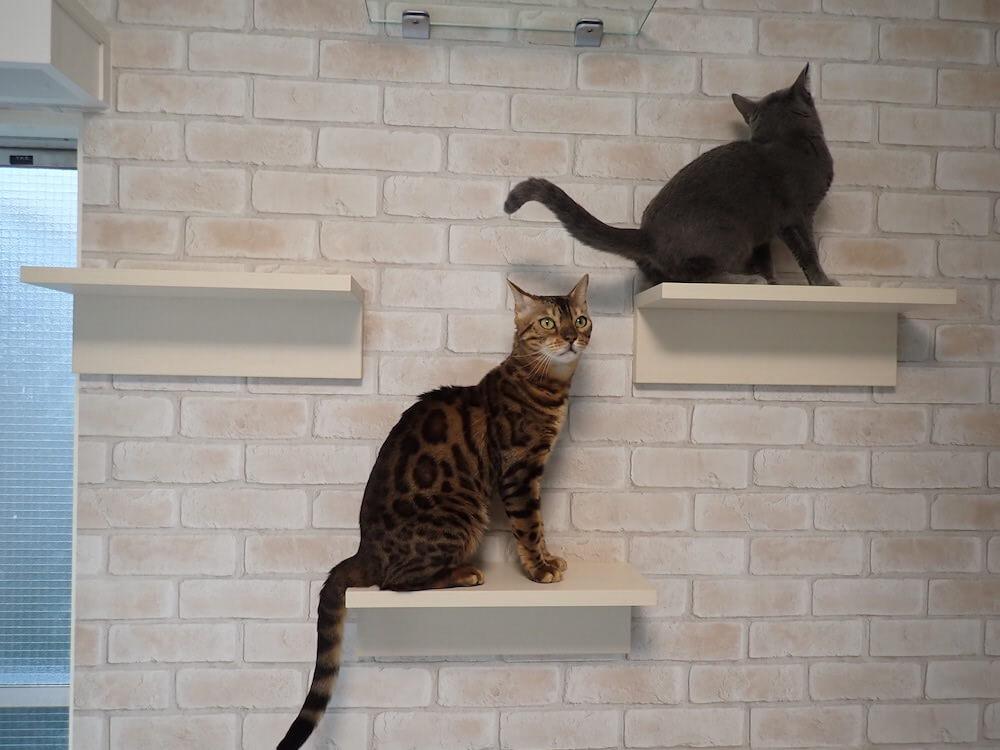 目黒の猫共生住宅「ねことすまふ」のキャットステップをのぼる2匹の猫