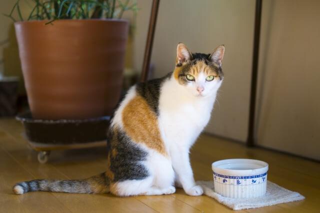 飼い猫(三毛猫)のイメージ写真