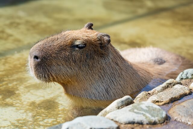 露天風呂の温泉に浸かるカピバラのイメージ写真