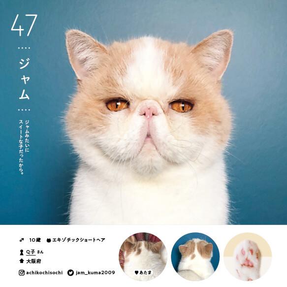 エキゾチックショートヘアの人気猫「ジャム」 by ねこさま名鑑100